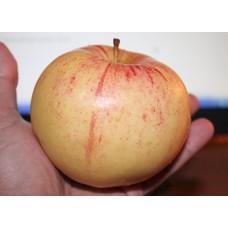 Яблоня зимн. Болотовское
