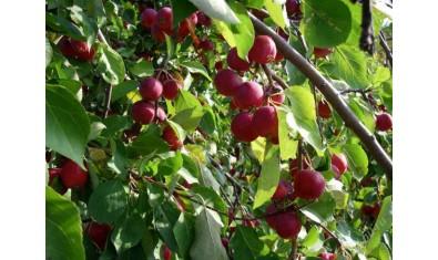 Яблоня ранетка красная