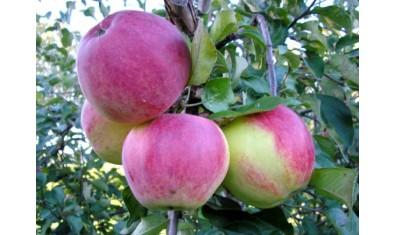 Яблоня осенн. Уэлси
