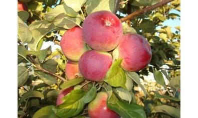 Яблоня осенн. Орлик
