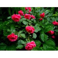 Роза плетистая Ардиента