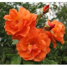 Роза плетистая Танарасах