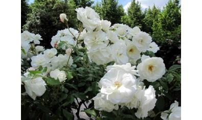 Роза флорибунда Айсберг