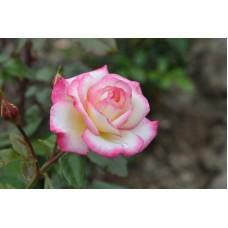 Роза плетистая Хандел