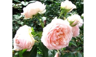 Роза плетистая Клаймбинг Пис