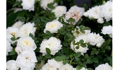 Роза миниатюрная белая