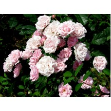 Роза миниатюрная розовая