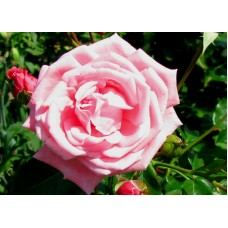 Роза плетистая розовая махровая