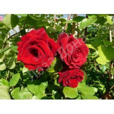 Роза плетистая темно-красная густомахровая