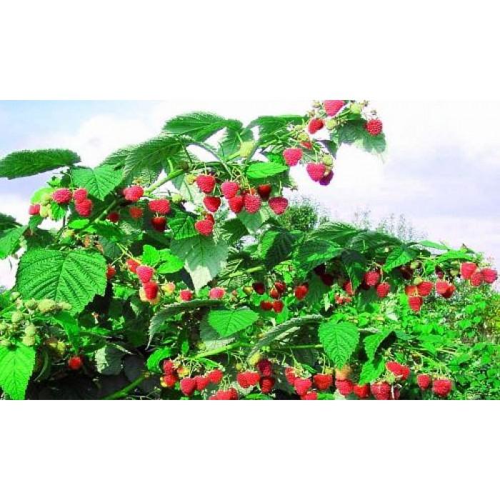 Малиновое дерево особенности выращивания 84